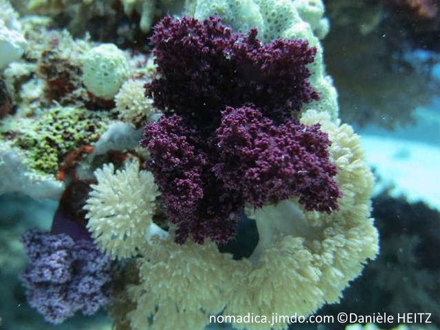corail, mou, arborescent