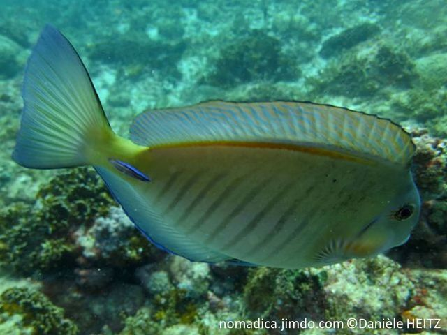 poisson chirurgien, gris bleuté, brun verdâtre, lignes fines verticales, sombres, scalpel cerclé bleu vif