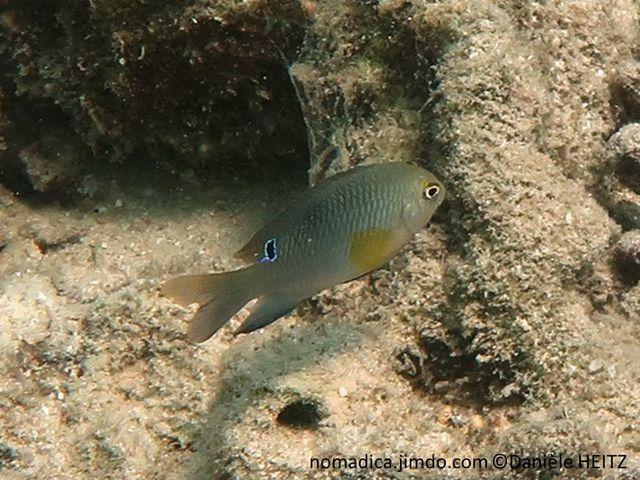 poisson, brun clair, nageoires pectorales, jaunes, ocelle, arrière, dorsale
