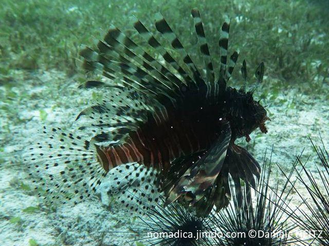 poisson, rayures verticales, brunes, bordéés blanc, nageoires transparentes tachetés,  antennes en forme de pagaie