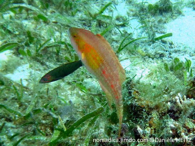 poisson, brunâtre, jaune à verdâtre, dorsale, ocelle bleu, cerclé noir, flancs, arrière, taches rouges alignées,