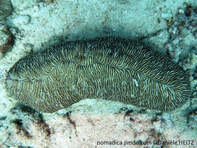 corail dur, non fixé, allongé, septes, lignes discontinues, courtes, sillon axial, plusieurs bouches, bouches secondaires dispersées