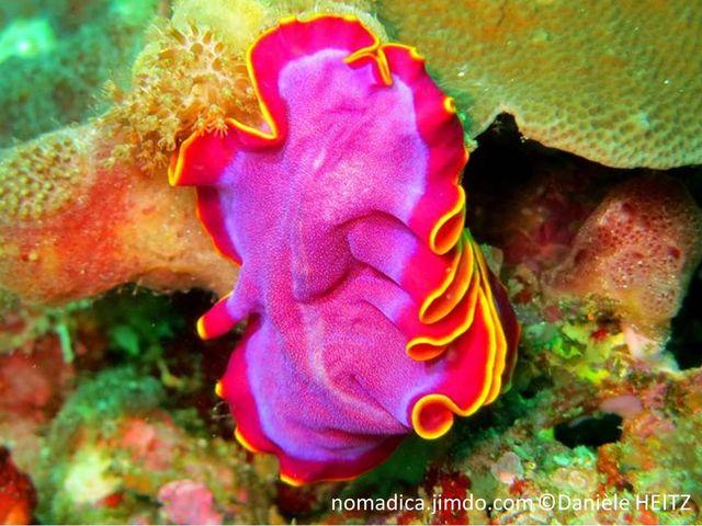 Ver marin, plat, couleur rose fushia, ou violet, bordure bande rose orangé, liseré jaune