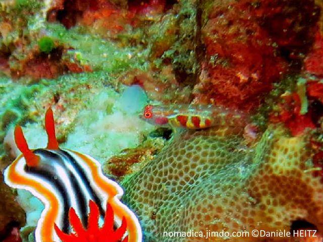 Poisson, petit, abdomen blanc, 3 taches rouges , colonne vertébrale, traits rouges et blancs
