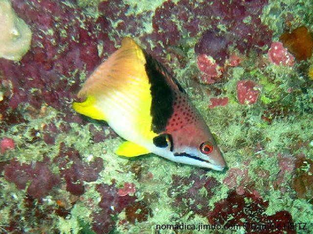 poisson, bicolore, brun rougeâtre, blanc, bande oblique noire et jaune, queue rose orangée