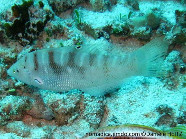 poisson, allongé, dos, alternance, bande verdâtres, brunes, lignes verticales, blanches, dorsale, ocelle noir cerclé blanc