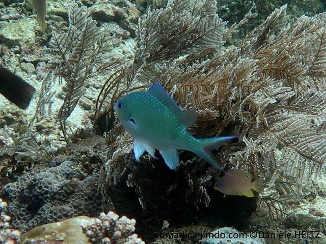 Poisson, bleu-vert, nageoire pectorale, tache noire cerclée bleu-vert