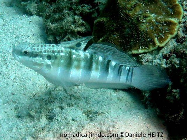 Gobie, corps brun verdâtre, 5 barre sombres verticales, 3 ocelles, haut opercule, 1ère nageoire dorsale, nageoire caudale