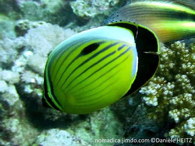 poisson, jaune, lignes horizontales