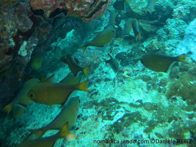 poisson, brun bronze, caudale jaune