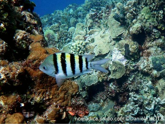 Poisson, comprimé, 5 bandes noires, verticales, dos jaune, tête verdâtre