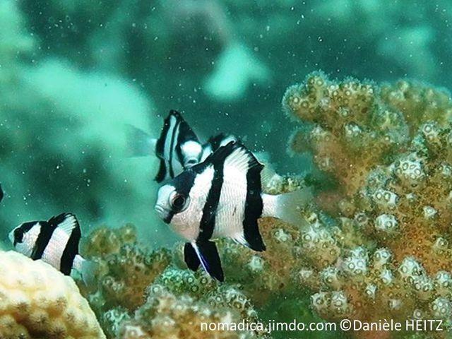 poisson, blanc, 3 bandes noires