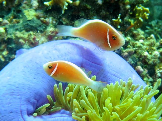poisson, couleur orangé rose, joue, ligne blanche verticale, dos, bande blanche