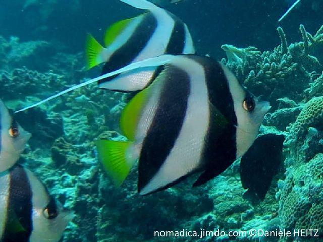 poisson, bandes, blanches, noirs, jaune, dorsale, filament, long