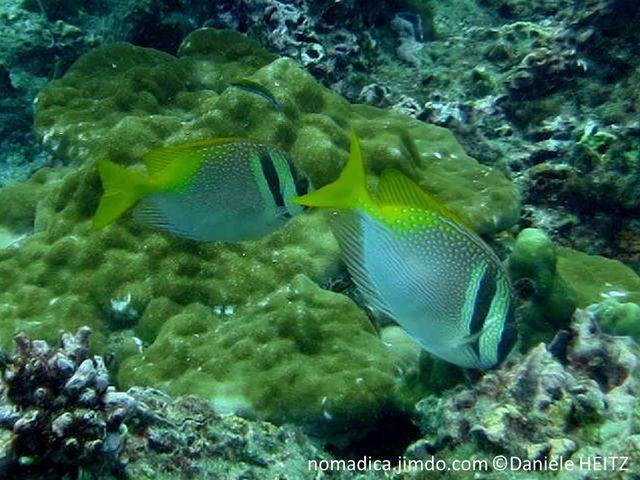 poisson, tête, deux, bandes, noires, dos queue, jaune