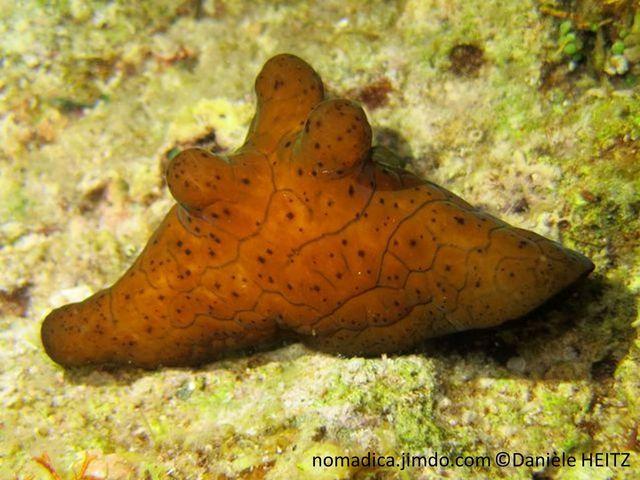 Escargot de mer, manteau, dos 5 protubérances, noir veiné bleu foncé, ou brun veiné brun foncé avec des taches brunes,