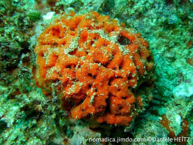 Eponge, forme cerveau, couleur orange, gros oscule au sommet