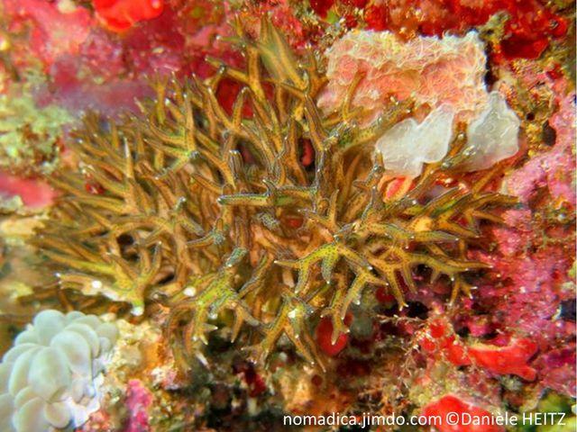 Corail dur, buisson, branches courtes, épaisses, terminaisons plurielles, pointues, polypes alignés côtés