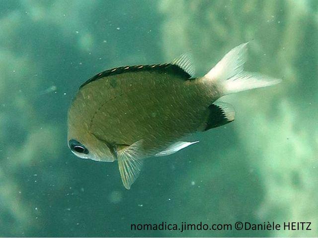 poisson, bronze, queue blanche