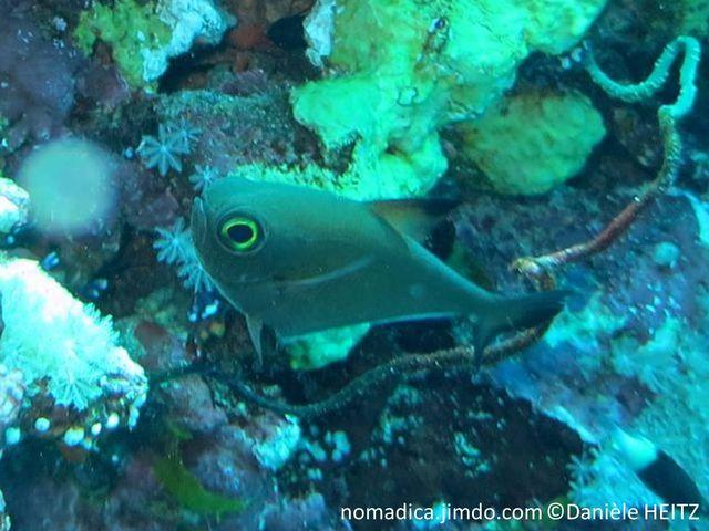 Poisson,  forme triangulaire, couleur vert bronze, nageoire dorsale, tache noire, queue bordée de noire