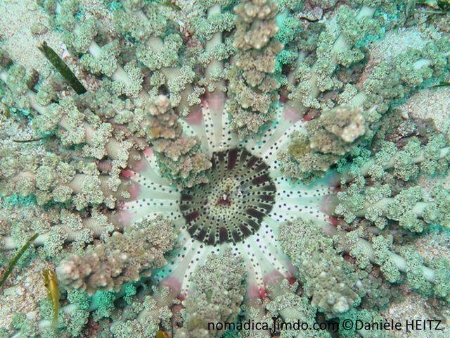 anémone, tentacules, bras épais, bouquet de vésicules, disque oral plat