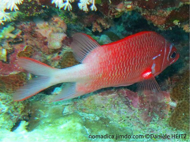 poisson, rouge, arrière, blanc
