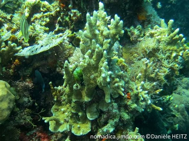 Corail dur, base encroûtante, branches fusionnées, surface aspect festonné, couleur verdâtre, grisâtre