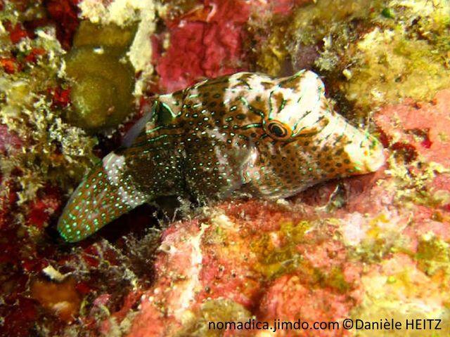 Poisson, orangé à brun rouge, points bleu vert, base dorsale, ocelle noir, tête, lignes bleu vert, ocelle noir, cerclé vert bleu,