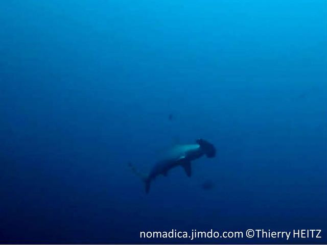 requin, tête, large, aplatie