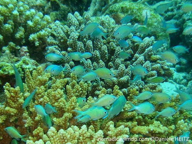 Poisson, bleu-vert pâle, tête, points bleu-brillant