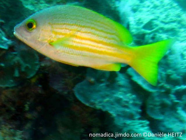 poisson, dos gris bleuté, ventre blanc, rayures jaunes, orangées, 2 plus larges sur les flancs, tache noire, base nageoire pectorale