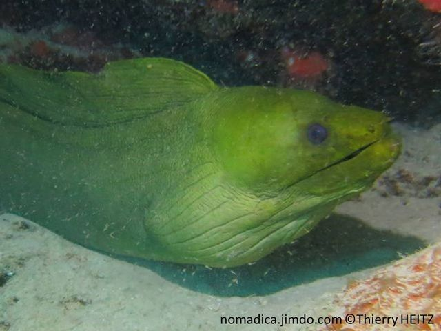 Poisson, serpentiforme, couleur verte