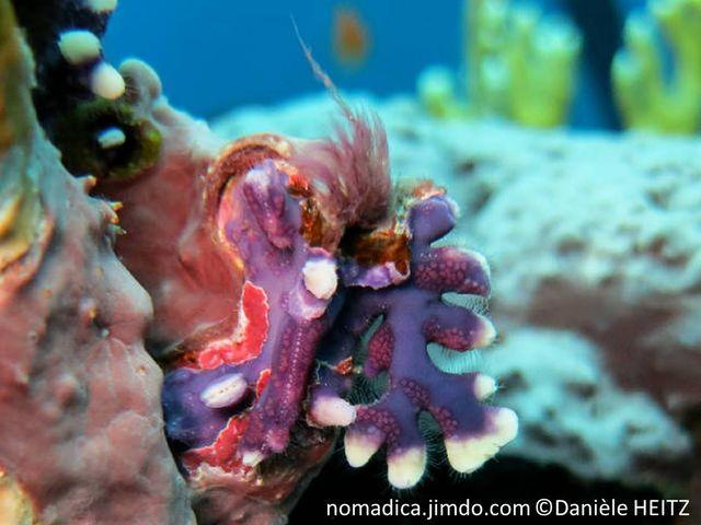 Corail, petitel taille,  violet bleu, terminaisons blanches, branches aplaties, terminaison rondes, peu ramifiées