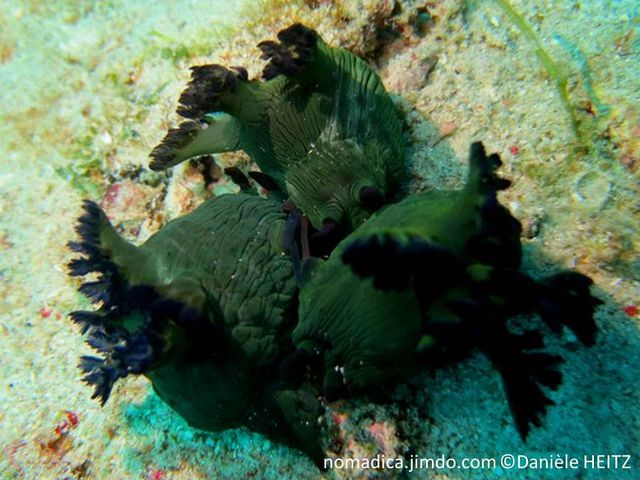 Nudibranche, surface ridée, couleur vert foncé, rhinophores et panache branchial bleu foncé
