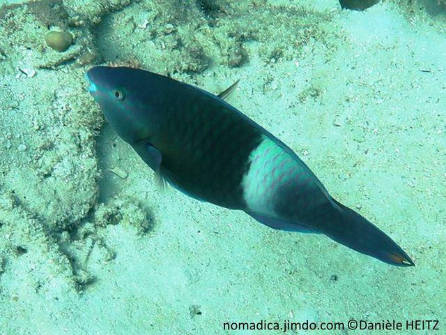 Poisson, dent, vec, corps bleu-vert, arrière, bande pâle, terminaison queue, bande orange
