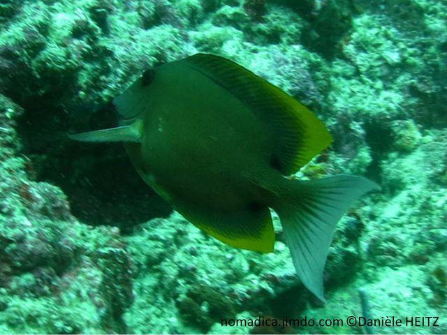 poisson, comprimé, ovale, nageoires, dorsale et anale, angulaires, bordure jaune orangé, queue demi-lune blanche