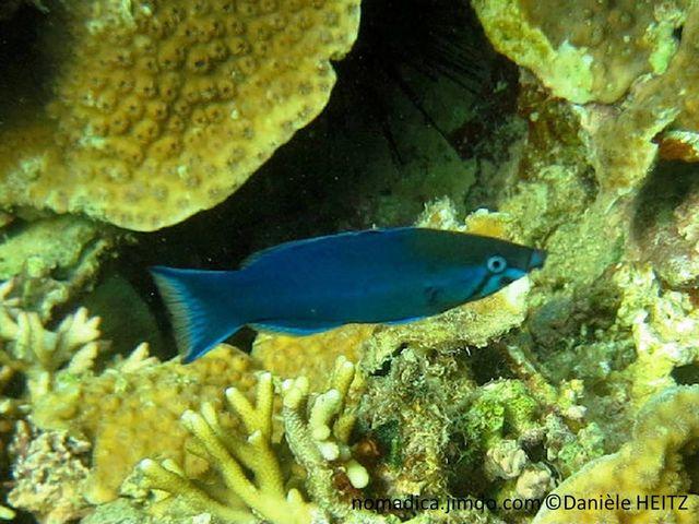 Poisson, corps allongé, bleu, tête sombre, ligne en forme d'accent circonflexe sous l'œil de couleur bleu-clair