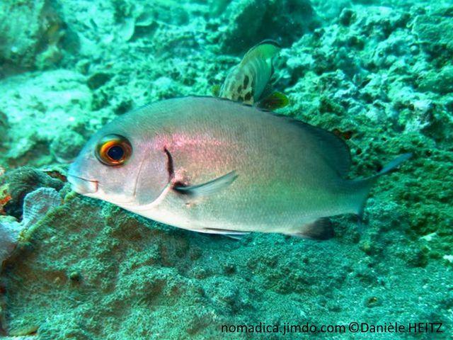 Poisson, argenté teinté bronze rosé, opercule rosé, yeux dorés, nageoires dorsale, anale et caudale, gris foncé