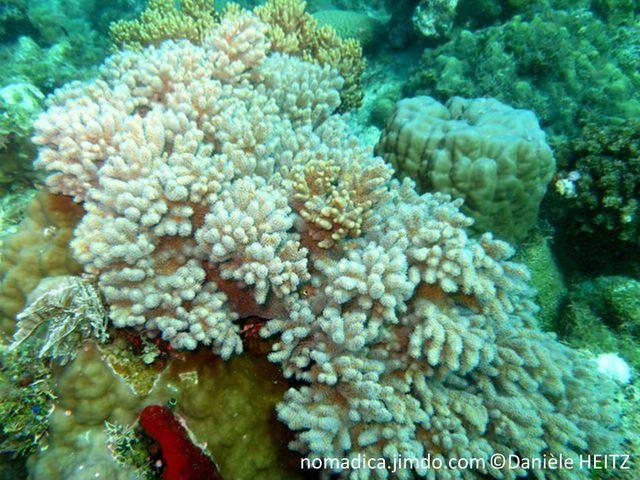 Corail mou, beige-rosé, base encroûtante, doigts courts, arrondis, polypes rétractables blancs
