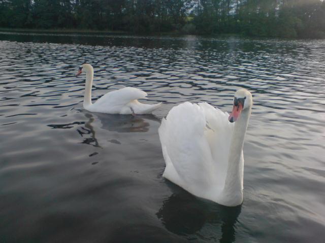 Schwanenpärchen Tauchower See