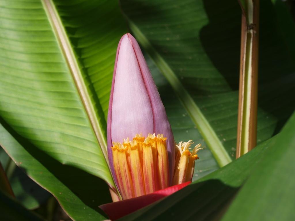 Blüte eines Bananenbaums