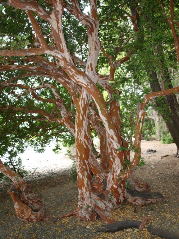 In unserem Sprachgebrauch als Kuhfleckbaum genannt