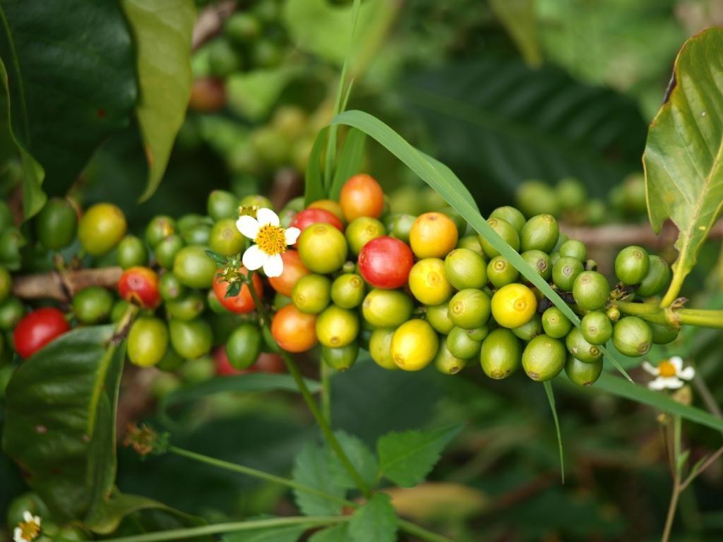 anschliessend widmen wir unsere vollste Aufmerksamkeit der Kaffeeproduktion