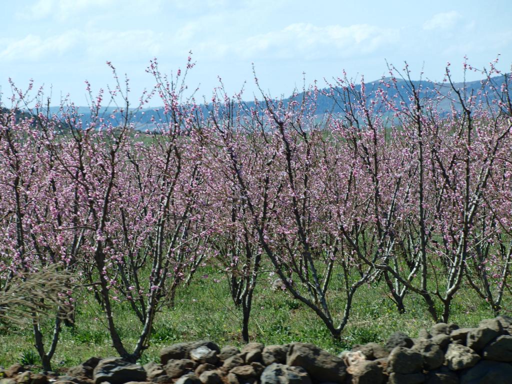 und bunter...Mandelbäume in der Blüte