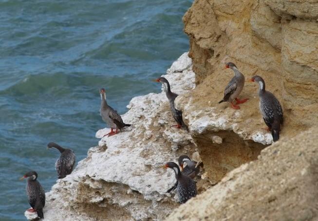 lustige rotfüssige Vögel