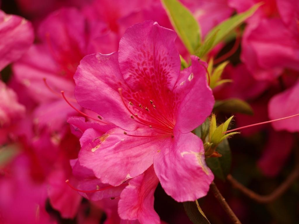 die Blüten von den bekannten Lapachobäumen kann man hier nicht übersehen