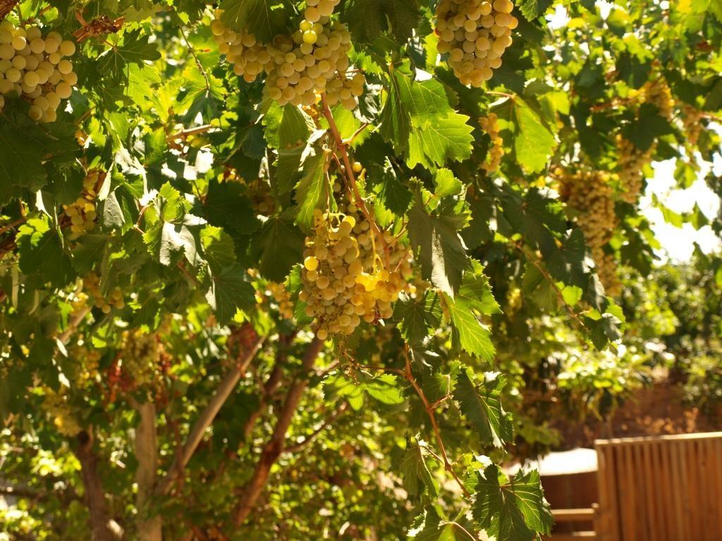 Muskateller-Trauben, daraus entsteht das Trendgetränk in Chile sour oder pur