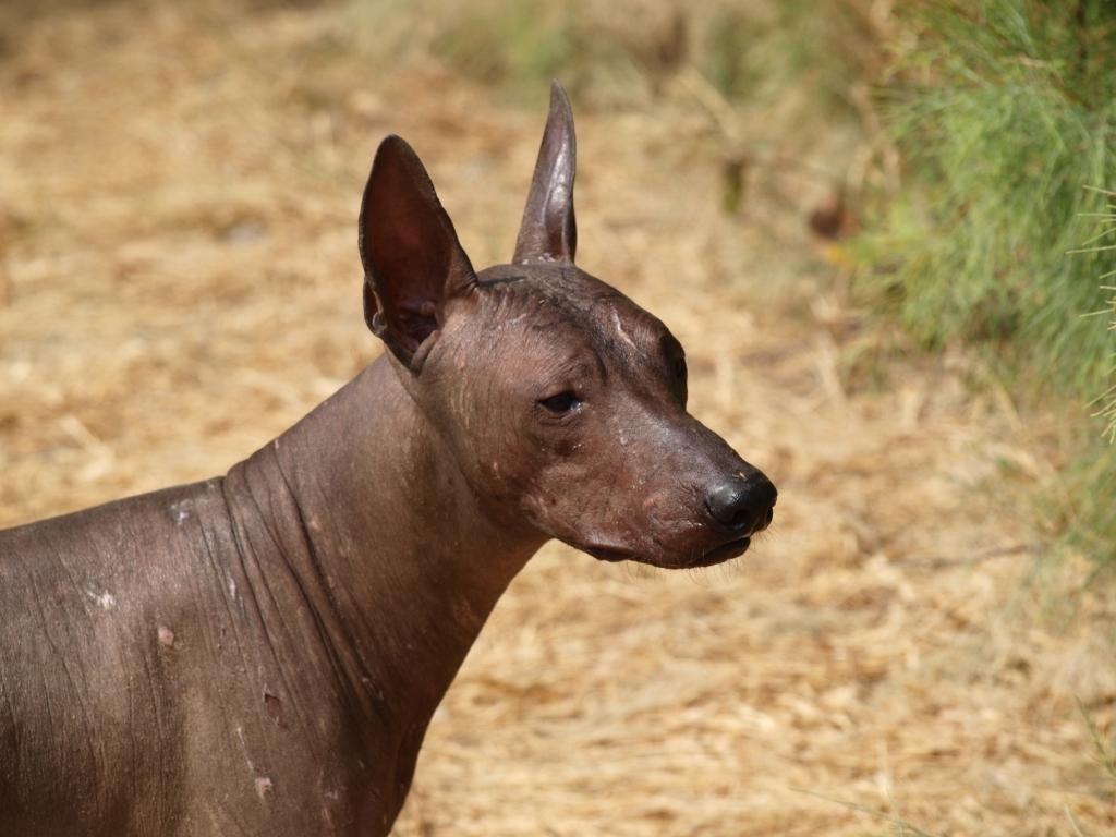 Perro Peruano oder Peruanischer Nackthund früher als Fusswärmer genutzt da sie eine erhöhte Körpertemperatur aufweisen