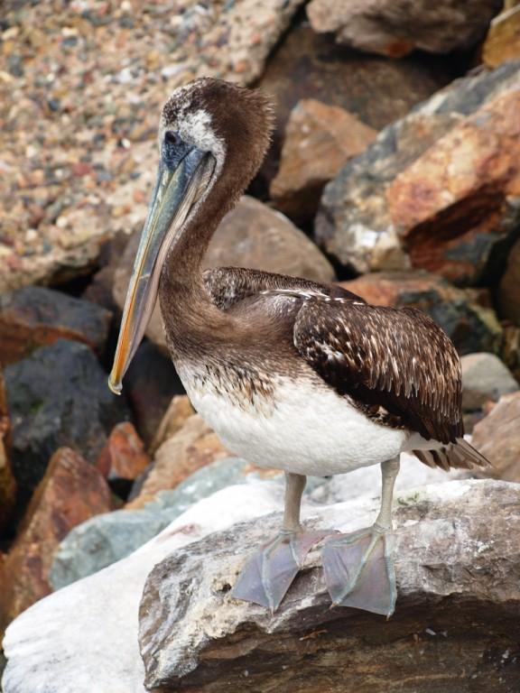 dann beobachten wir halt die Pelikane