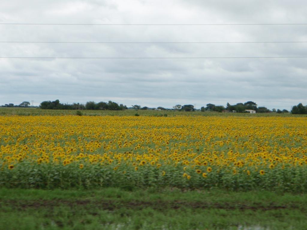 auf dem Weg hats viiiele überdimensionale Sonnenblumenfelder